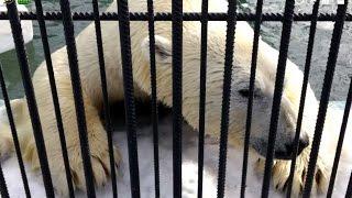 Роев ручей. Открытие сезона купания белых медведей 2015(2015., 2015-03-22T13:36:41.000Z)