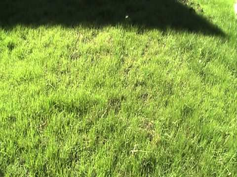how to grow grass on a new lawn