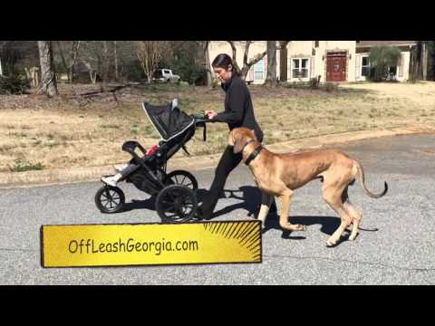 "9 Month Old Great Dane ""Max"" Before/After Video 