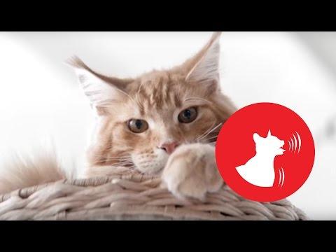 Знак 3: Одышка у кошки.