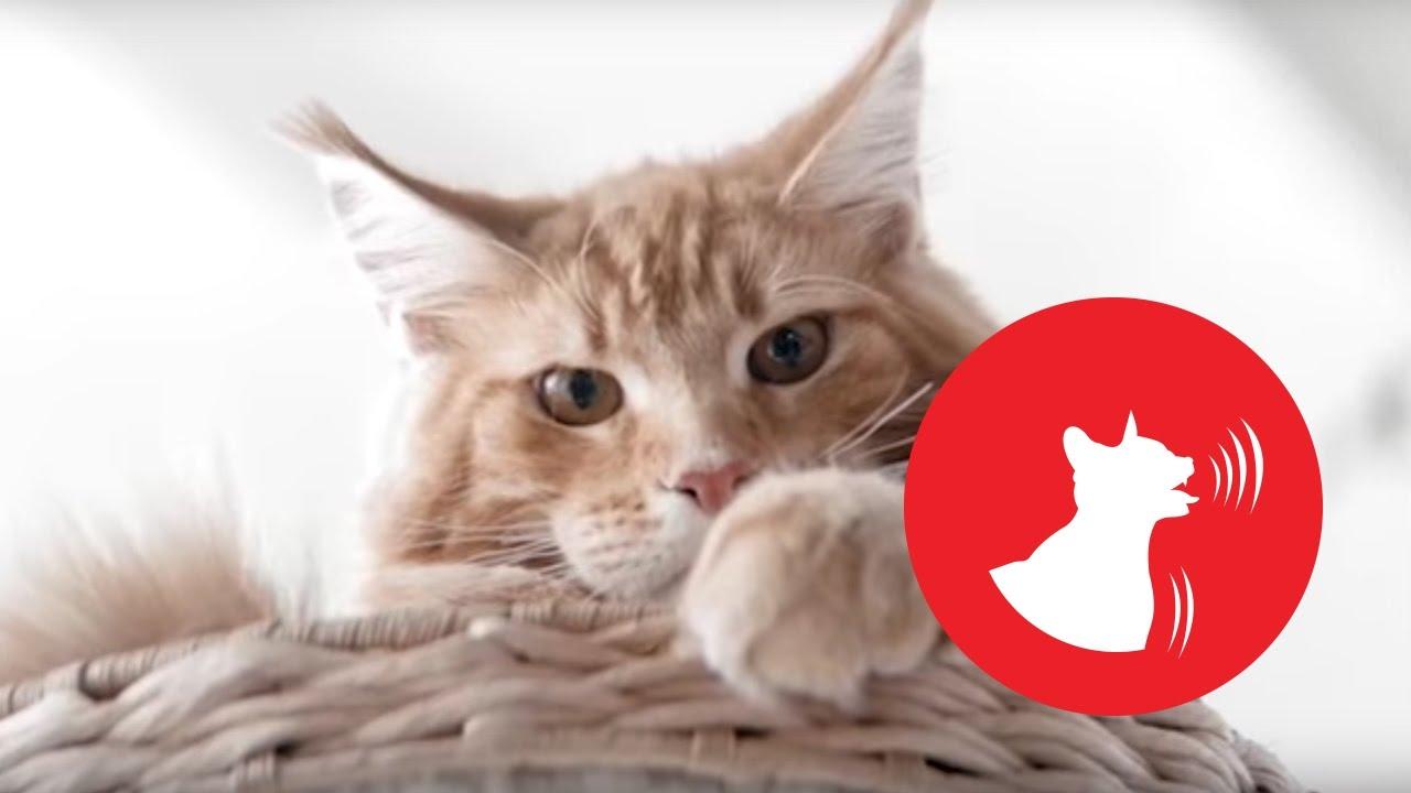 Одышка у кота что это