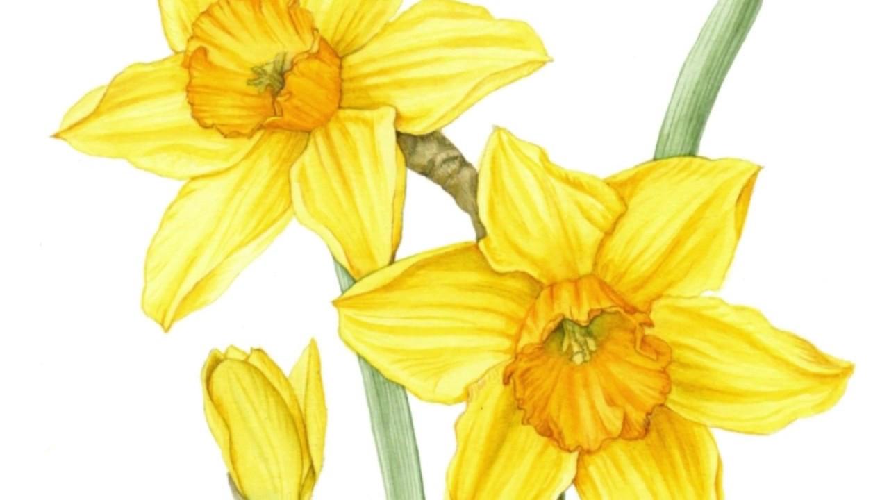 Drawing Daffodils Youtube