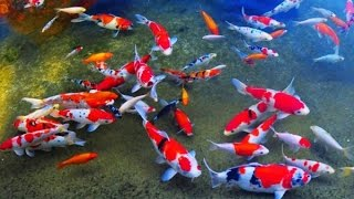 Ikan Hias Pasar Kanoman Kota Cirebon