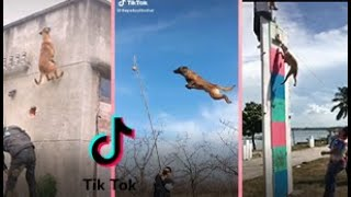 JUMPING DOGS TIKTOK COMPILATION ⭐ SUPERPOWER DOG ⭐ MALINOIS Dogs AND PIT BULL