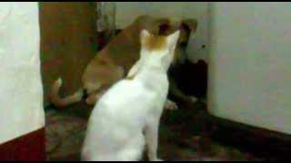 My poor dog got a slapped from my Bully cat T_T