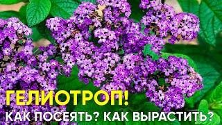 Секреты выращивания Гелиотропа из семян Тонкости посева пикирования прищипки Цветение