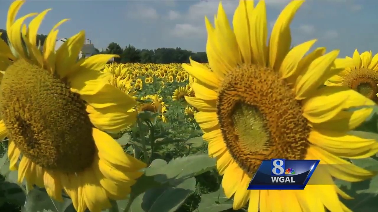 Man Plants Field Of Sunflowers To Drum Up Car Wash Biz Youtube