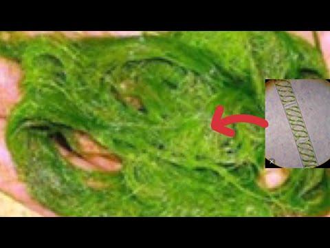 Водоросль спирогира под микроскопом