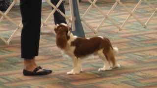 Bluegrass Classic 2013 - Cavalier King Charles Spaniel - Best Of Breed