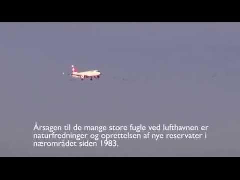 Birdstrike: Københavns lufthavn trodser brug af fugleradar.