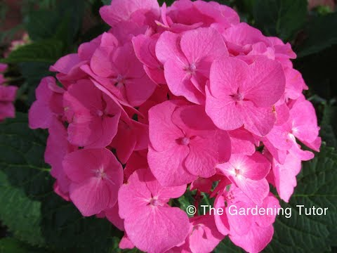 How to prune a Mophead Hydrangea by The Gardening Tutor-Mary Frost