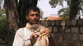 Use of Shatavari (asparagus) in milk production Kannada BAIF Karnataka thumbnail