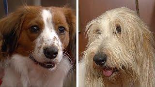Две породы европейских охотничьих собак попали в реестр Американского клуба собаководства (новости)