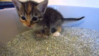 Tiny Tortie Foster Kitten Learning To Use The Litter Box - Going Pee - 3 Weeks Old