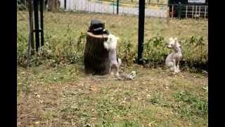 Китайской хохлатой собаки щенки