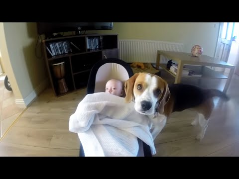 Dog covers baby with blanket | Charlie The Beagle