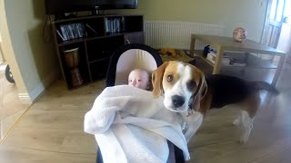 Cute dog gently covers baby with blanket(Charlie the dog)