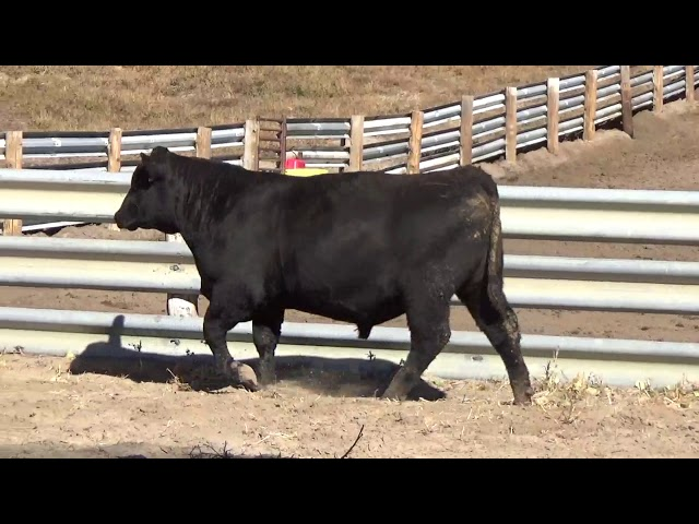 Connealy Angus Lot 4