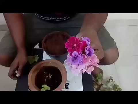 How to grow geranium ivy using stem cuttings