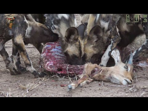 African Wild Dogs Feeding Frenzy At Dusk