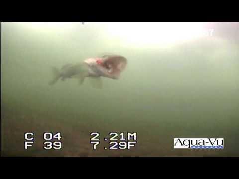 Rare Video Underwater Muskie Strike!