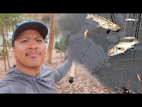 Fish Are ALL Dying - San Diego Local Pond