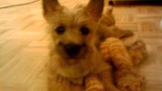 Toro The Cairn Terrier Plays With His Cat Part 2