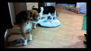 Два бигля в одной квартире. Two Beagle In An Apartment
