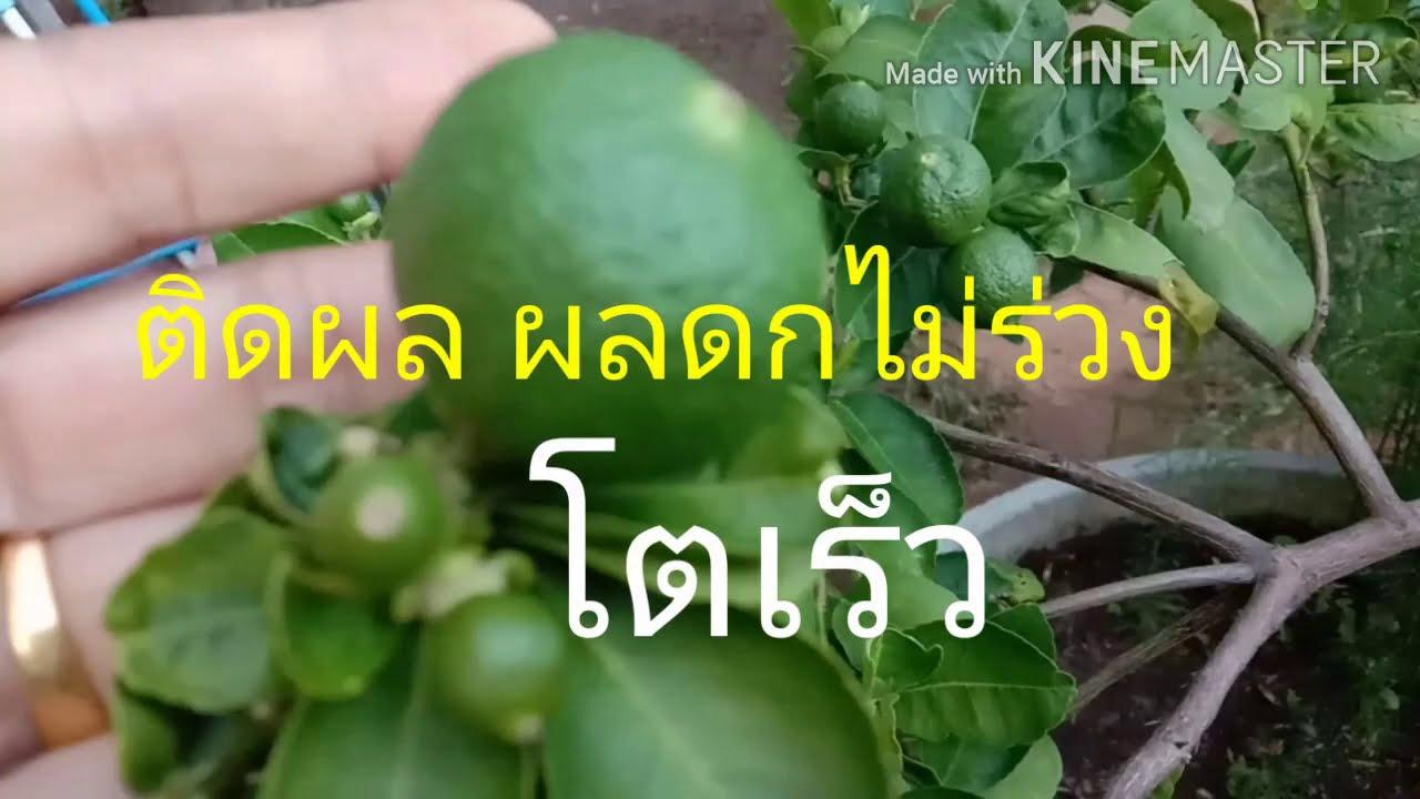 สูตรนี้ง่ายมาก มะนาวดก ผลไม่ร่วง โตเร็ว เก็บกินได้ตลอดทั้งปี ทองปานปลูกผัก
