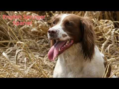 English Springer Spaniel - medium size dog breed