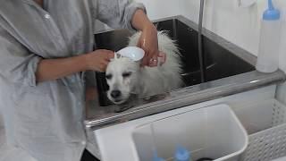 3 Bath time.Muku ,Japanese spitz male.日本スピッツ ムクくん。お風呂...