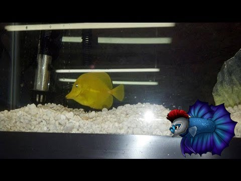 Yellow tang care and breeding guide | the aquarium guide.