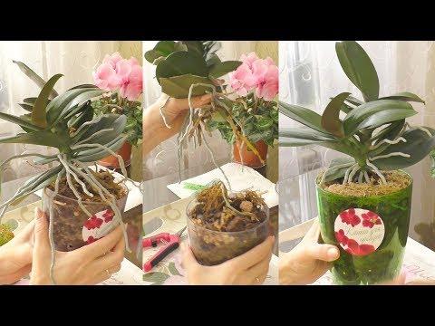 Омоложение (деление) орхидеи. Отрезанная КРАКОЗЯБРА!