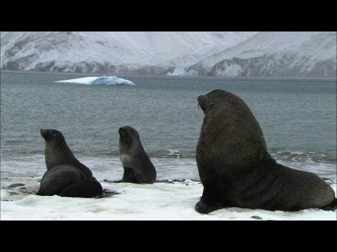 Soaked penguins & mating seals   Antarctica Ep3