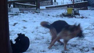 Crooked Creek Ranch German Shepherds Play In The Snow