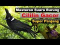 Masteran Suara Burung Cililin Gacor Super Panjang  Mp3 - Mp4 Download