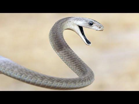 ЧЕРНАЯ МАМБА: самая опасная змея в мире! Интересные факты о черной мамбе.