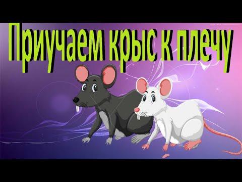 Как приучить крысу к плечу?  Выгул крыс в домашних условиях.