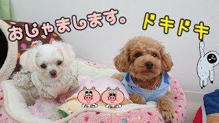 ミルクちゃん『おじゃまします。』 ラサアプソ チョコちゃん ミックス犬...