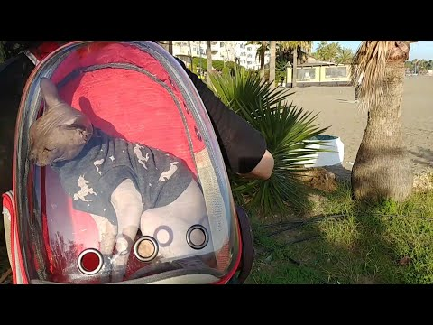 Sphynx cat in backpack - day adventure / DonSphynx
