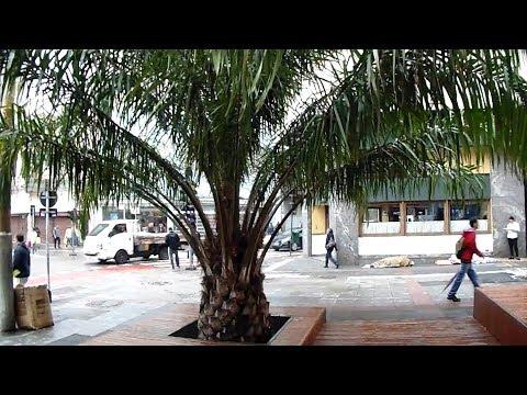 Jubaea Chilensis - Large plants for public spaces