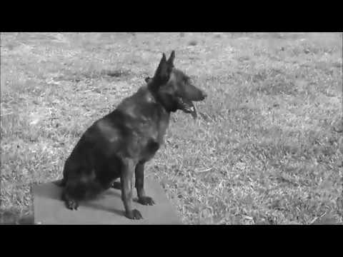 Family Protection Dog - The K9 Training Academy