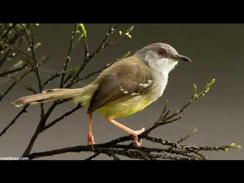 Download Lagu Suara pikat burung ciblek full isian di jamin dapat banyak terbaru part  1
