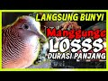 Perkutut Manggung Gacor Pancingan Dan Pikat Perkutut Agar Bunyi  Mp3 - Mp4 Download