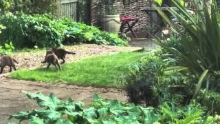 Five Fox Cubs playing in the garden