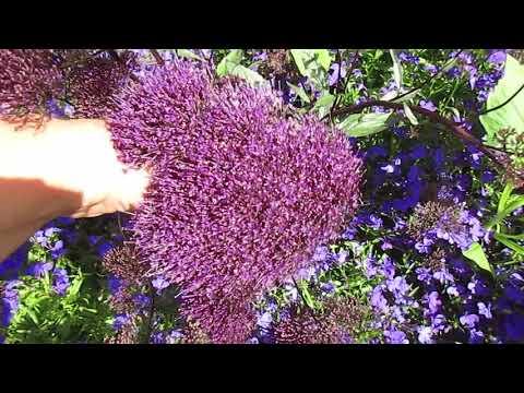 Нежнейшие цветки Трахелиума 06.08.2018