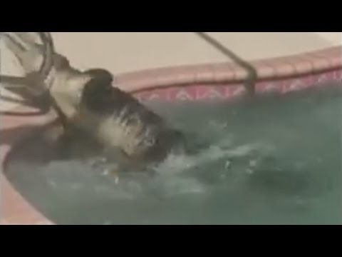7 foot alligator takes a dip in family pool