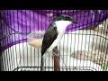 Burung Jingjing Batu Trotol Gacor  Mp3 - Mp4 Download
