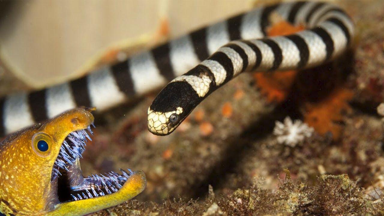 Плоскохвост – невероятно ядовитая змея, которая пожирает МУРЕН!