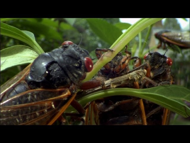 Cicada Plague – Nature's Weirdest Events – Episode 2 – BBC Two